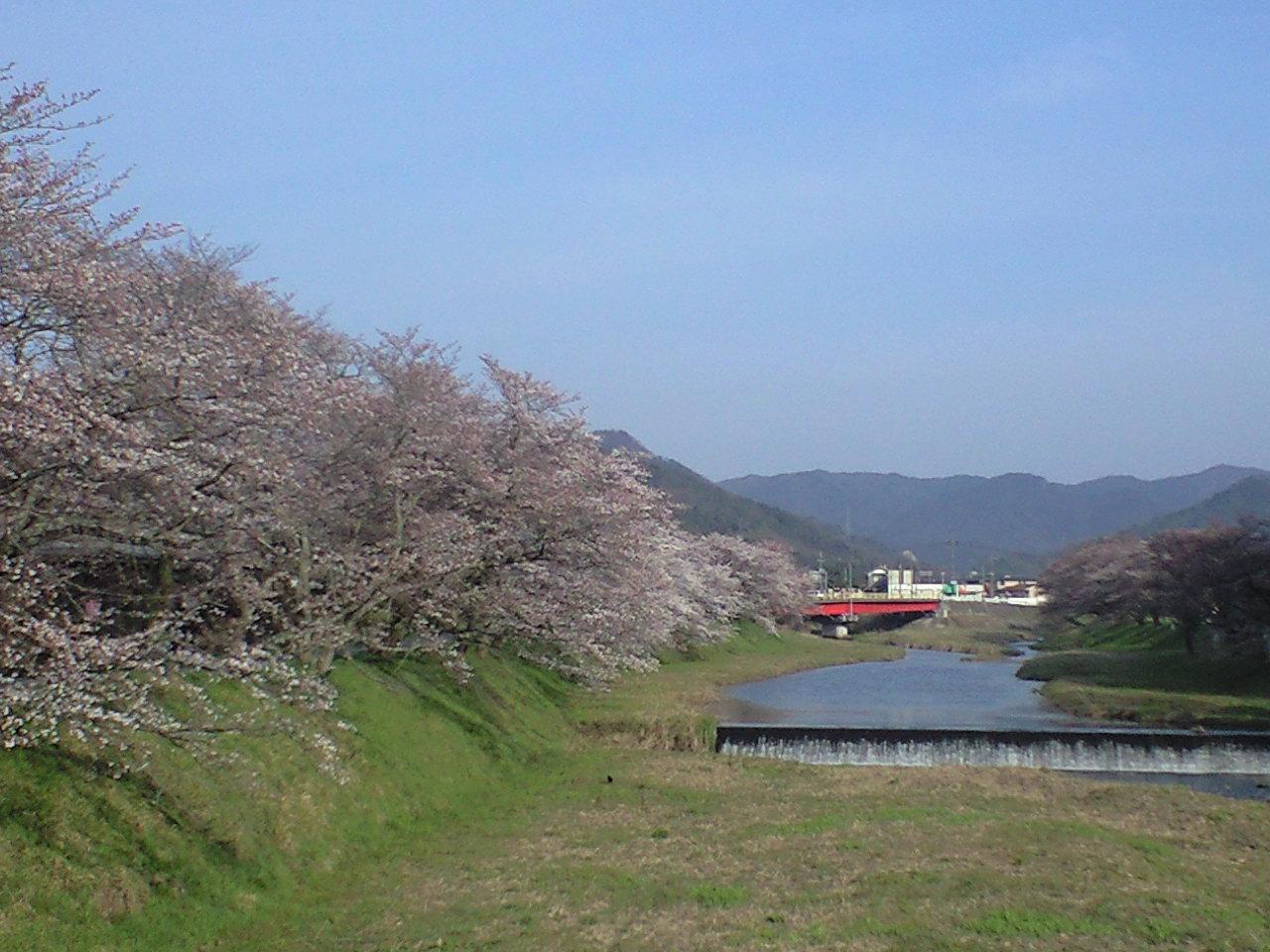 法勝寺川ほとりの桜並木