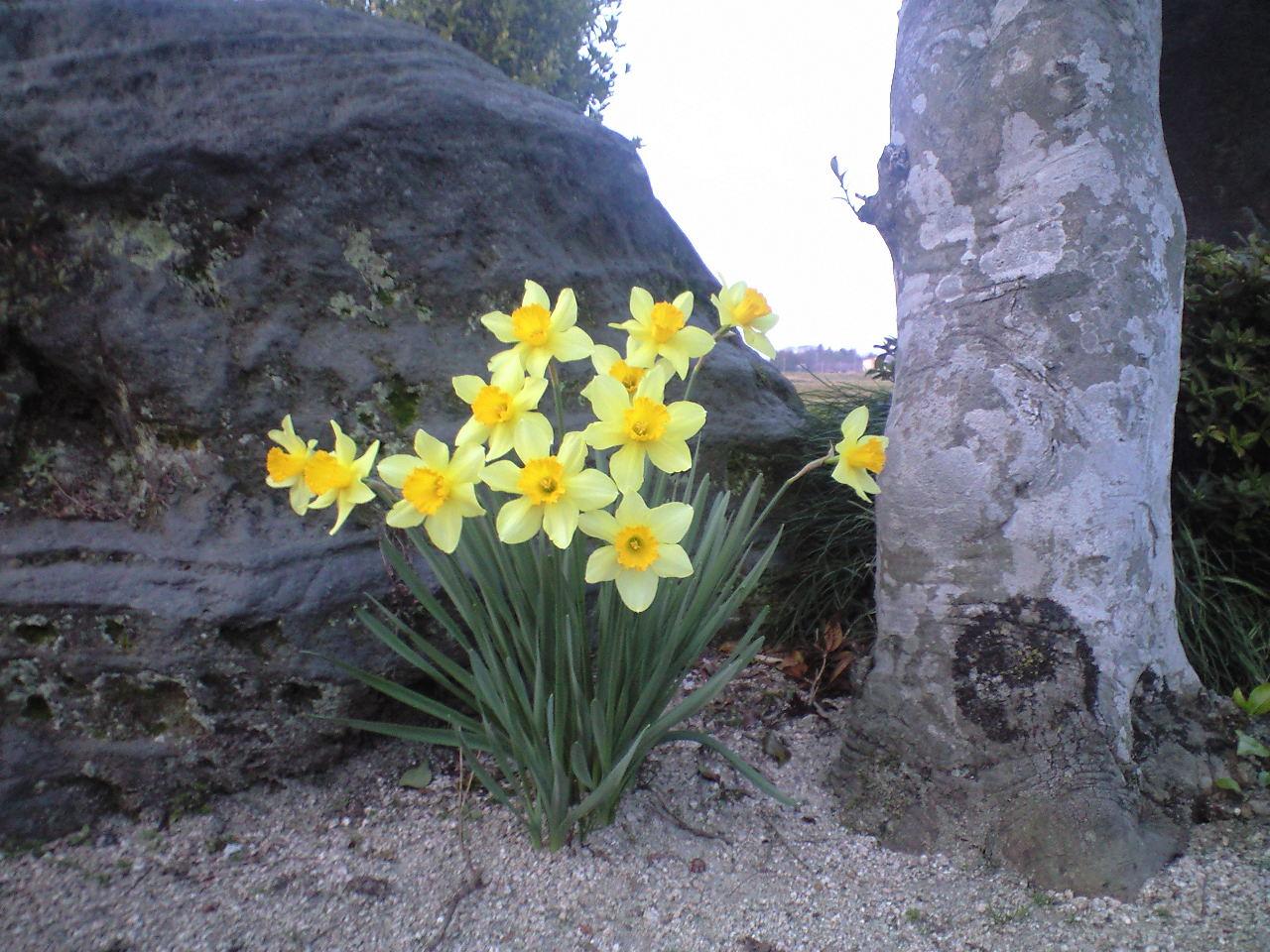 庭に咲く水仙になりたい