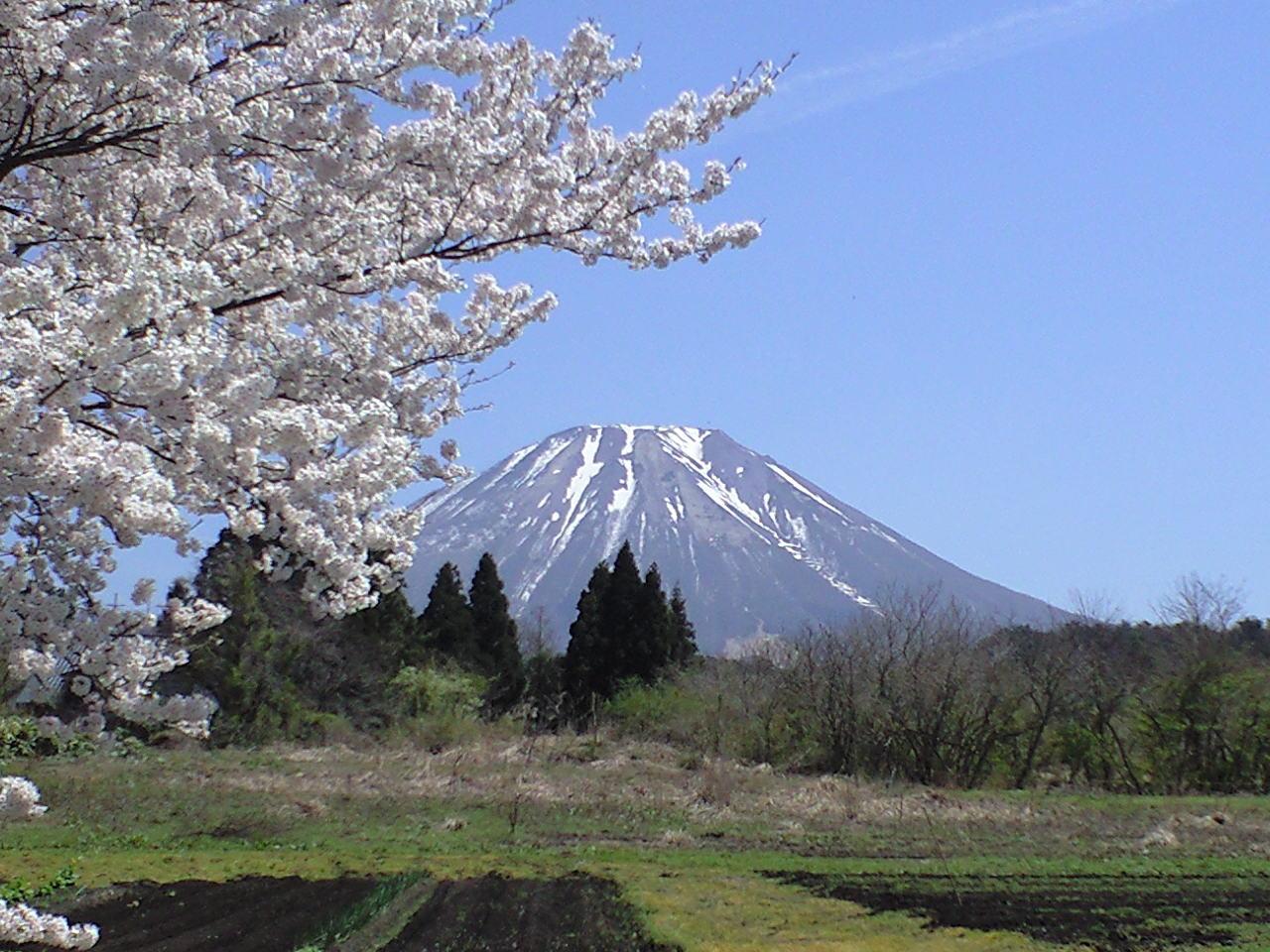 大山ペンション村の桜が満開!