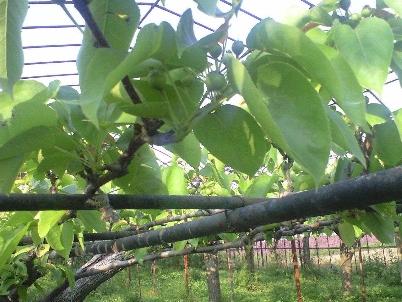 かっしーさんの梨畑