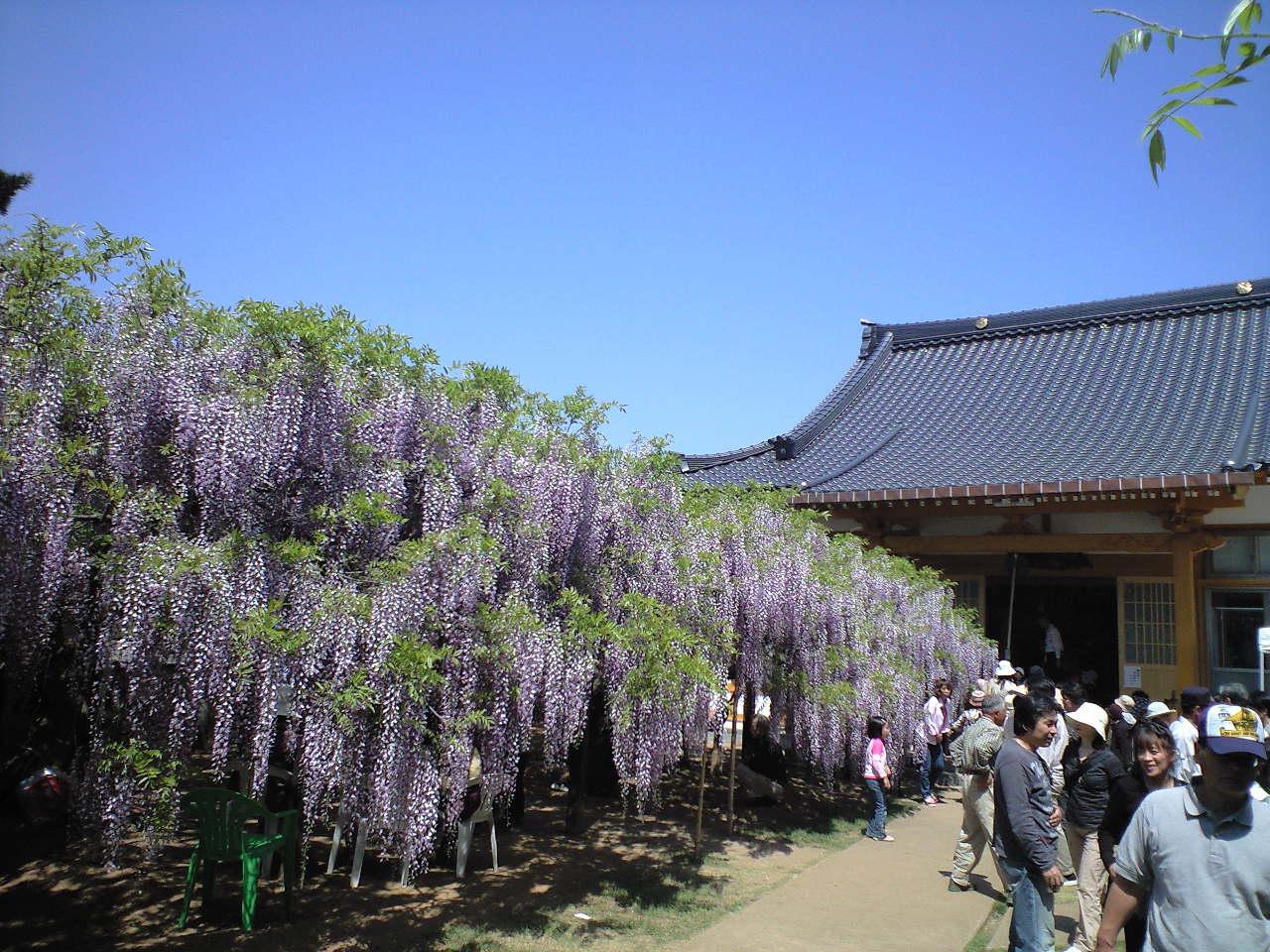 藤寺の六尺藤