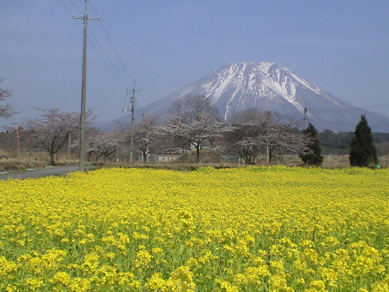 桜と菜の花と大山と