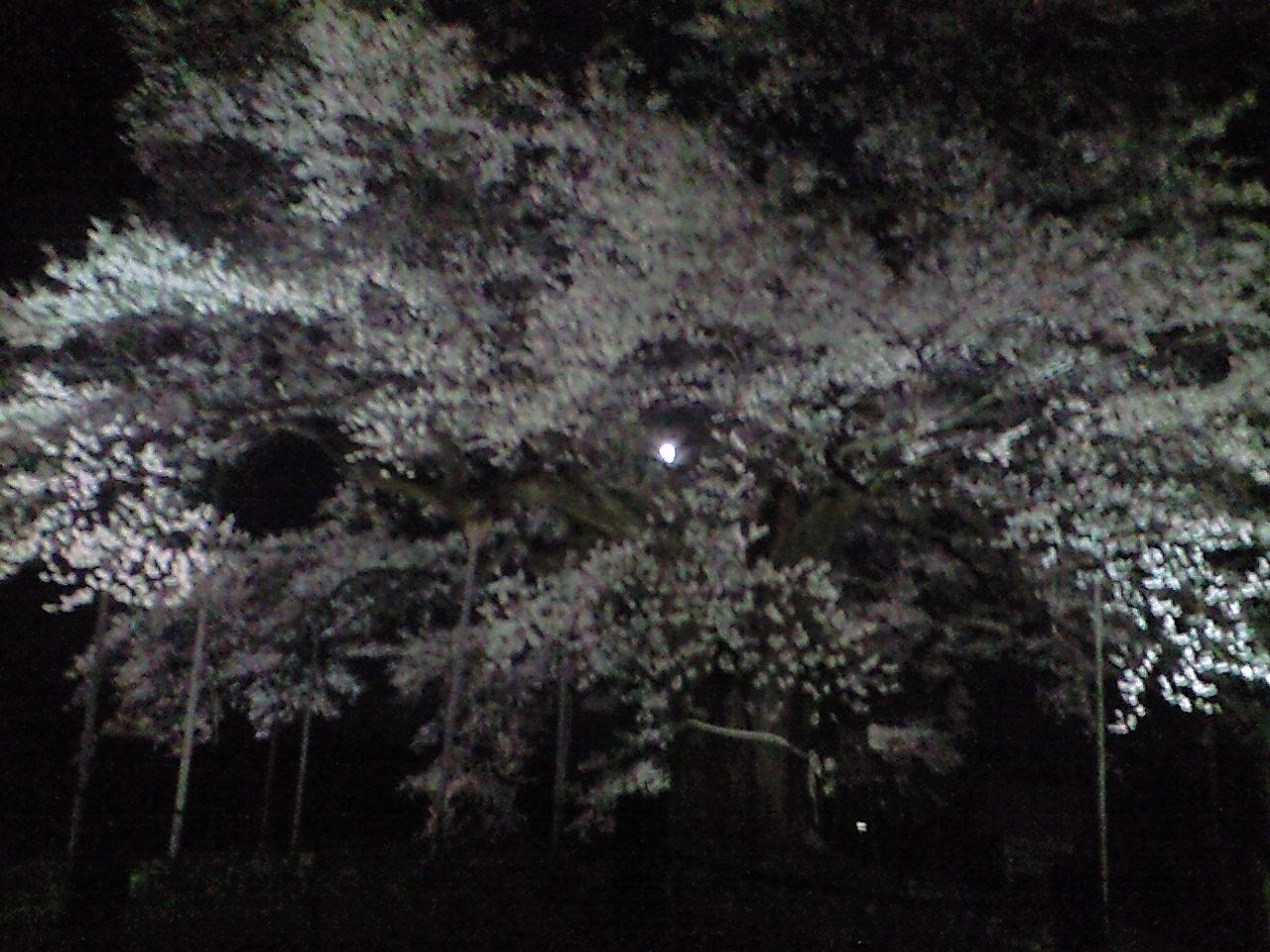 樹齢千年の桜と満月と