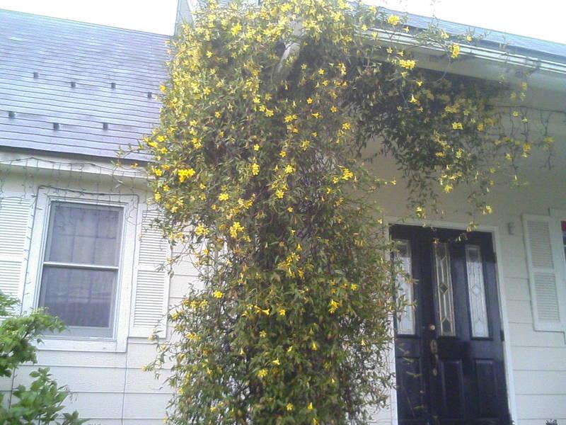 カロライナジャスミン咲きまくり・・・。