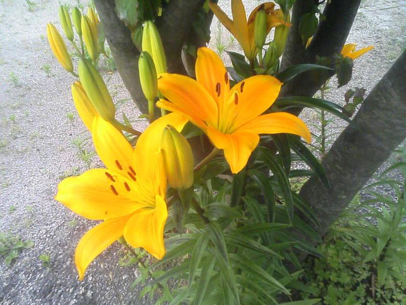 ユリが咲きました