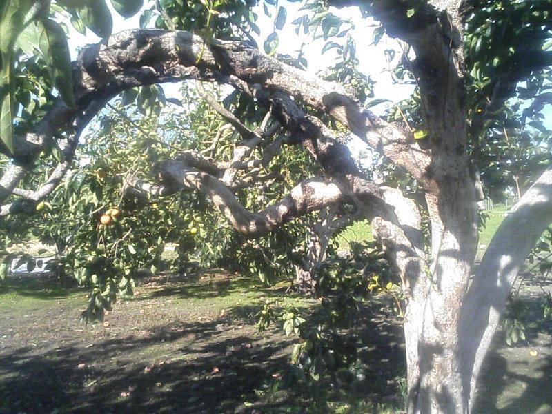 異形の柿の木