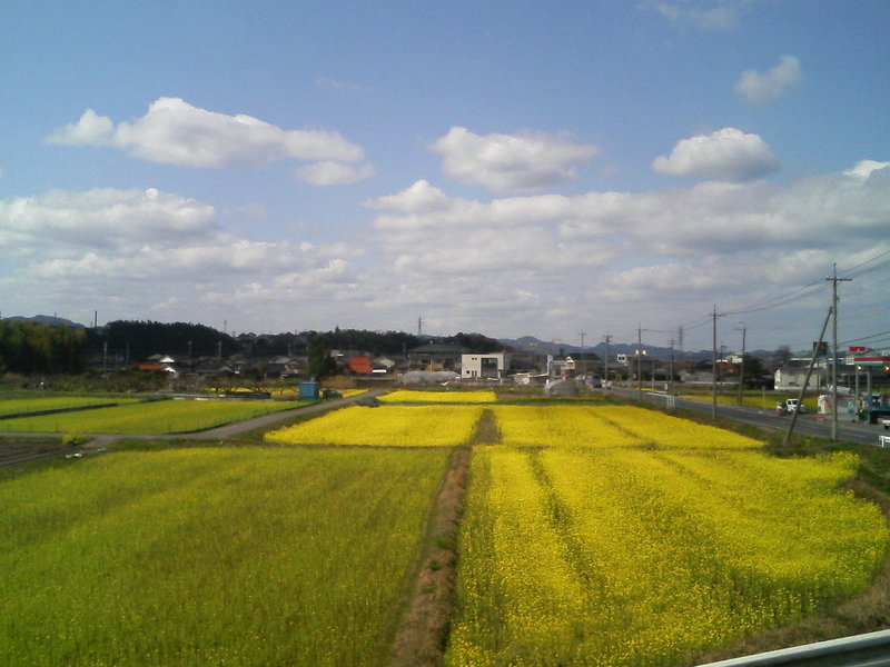 辺り一面、菜の花畑!