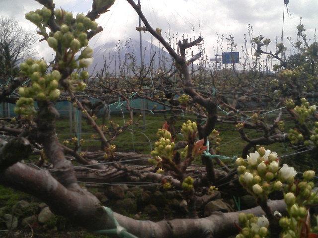 大山と梨の花