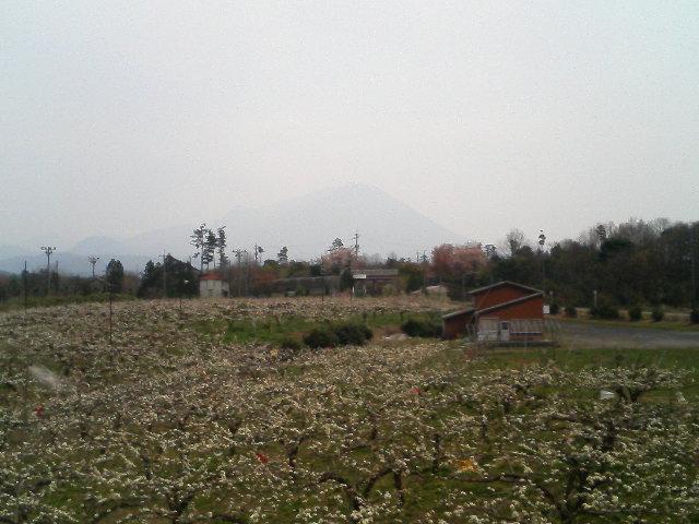 大山ふもとの二十世紀梨の花が満開!
