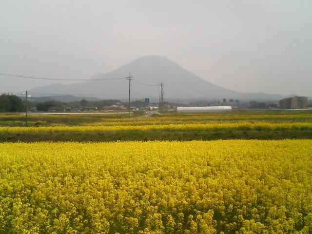 大山ふもと伯耆町丸山地区 菜の花が満開!