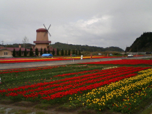 伯太のチューリップ畑