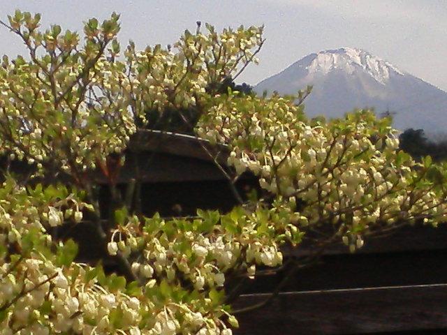 どうだんツツジが咲きました。
