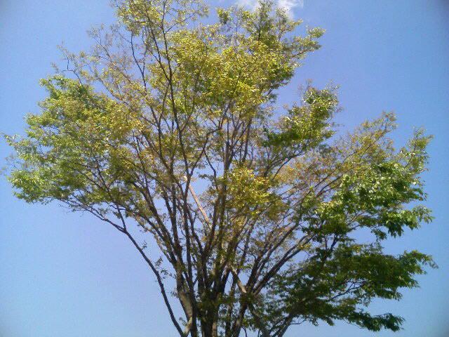 ケヤキの樹も新緑が涼しげー!