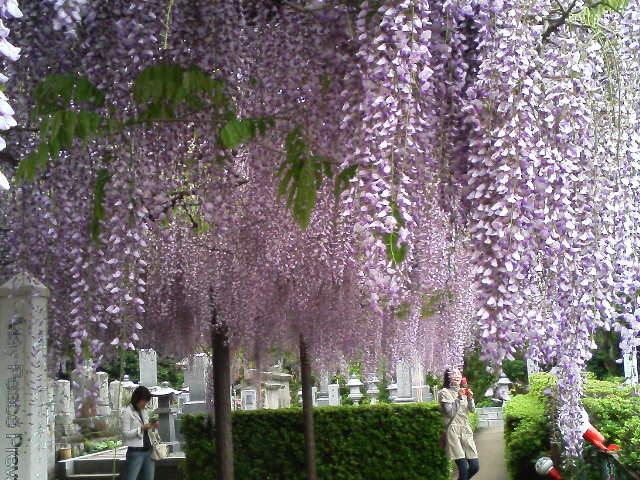 大山麓、住雲寺、藤の花が満開〜!