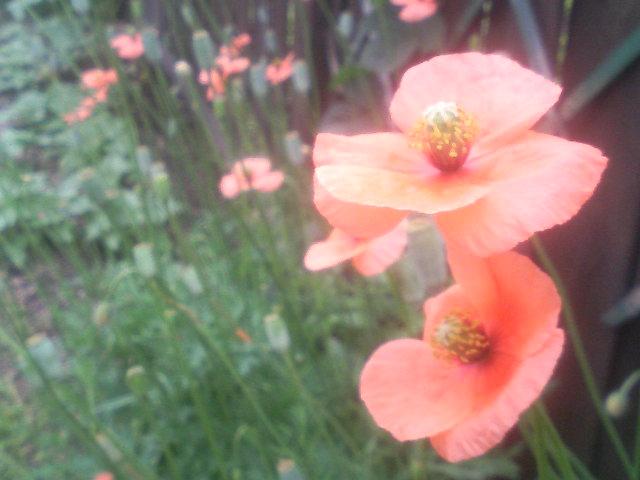 ヒナゲシの花といえば・・・