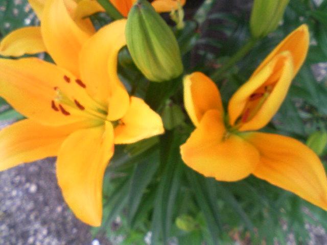 庭のユリの花が咲き始めました。